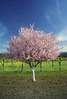Bielenie drzew owocowych wygląda bardzo estetycznie