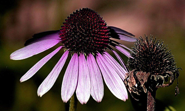 Usuwanie przekwitłych kwiatów