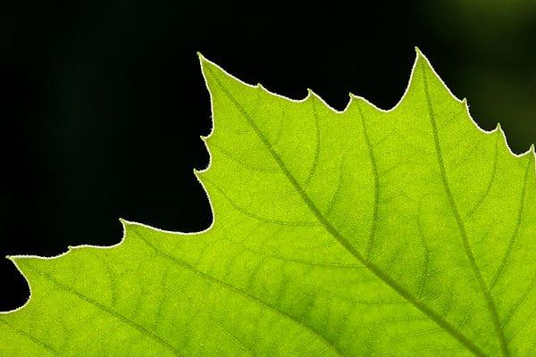Platan klonolistny - Platanus x acerifolia