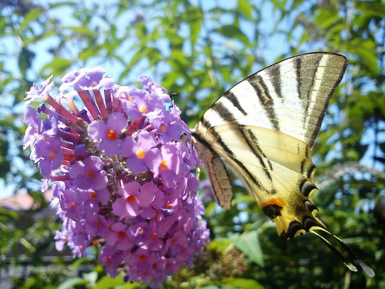 Budleja Dawida (Buddleja davidii) - motyli krzew