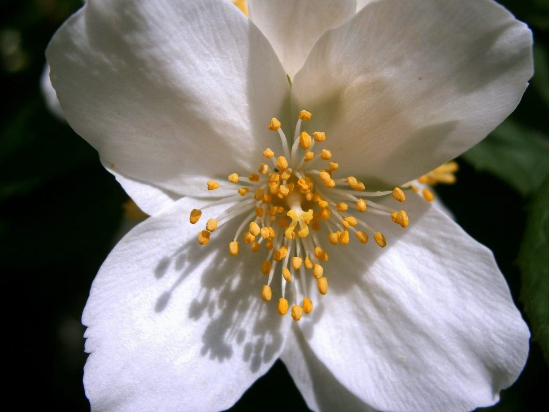 Jaśminowiec wonny (Philadelphus coronarius)