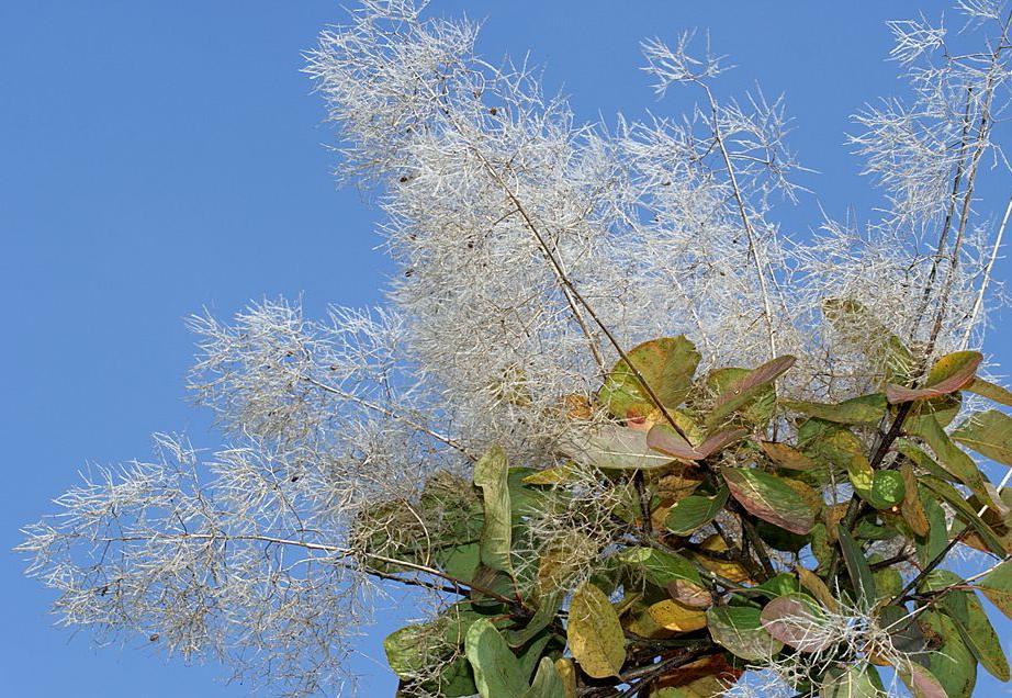 Perukowiec podolski - Cotinus coggygria