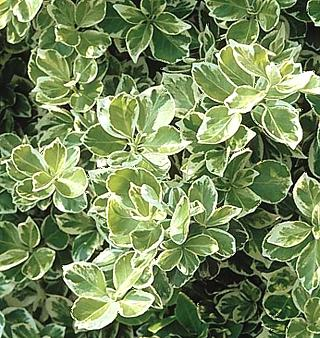 Trzmielina Fortune'a 'Emerald Gaiety'