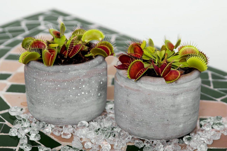Muchołówka amerykańska - Dionaea muscipula