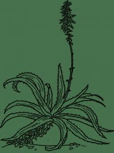 aloes drzewiasty