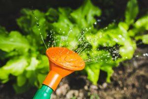 Unikajmy zraszania liści, szczególnie w słońcu. Strumień wody kierujmy w stronę bryły korzeniowej.