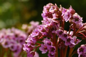 Subtelne kwiatostany bergenii sercowatej