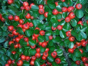 rosliny zimozielone