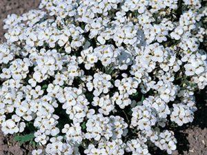 byliny kwitnace w marcu gesiowka