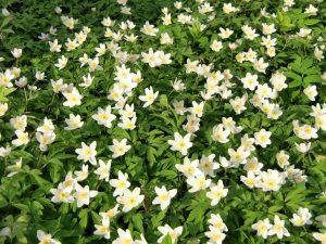 byliny kwitnace w marcu zawilec