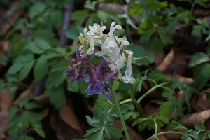 byliny kwiatnace w marcu kokorycz