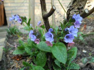byliny kwitnace w marcu miodunka plamista