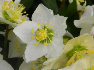 byliny kwitnace w marcu ciemiernik