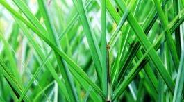 trawy zimozielone i półzimozielone