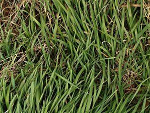 trawy zimozielone