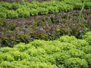 warzywnik w ogrodzie