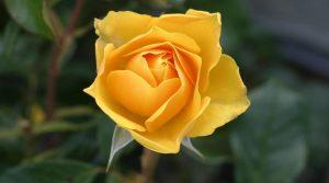 PoradyOgrodnicze.pl – Ogród pełen aromatów – róża