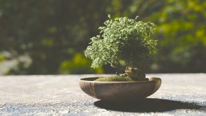 PoradyOgrodnicze.pl - Orient w ogrodach- bonsai
