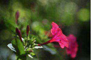 PoradyOgrodnicze.pl-Rośliny kwitnące w sierpniu-Dziwaczek jalapa
