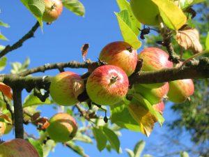 PoradyOgrodnicze.pl - Szczepienie roślin - jabłoń