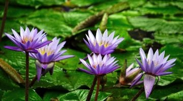 water-lily-flower-pond-aquatic-54315-lilie