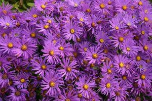 PoradyOgrodnicze.pl - Rośliny kwitnące na fioletowo - astry