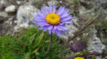 PoradyOgrodnicze.pl - Rośliny kwitnące na fioletowo - zdjęcie główne