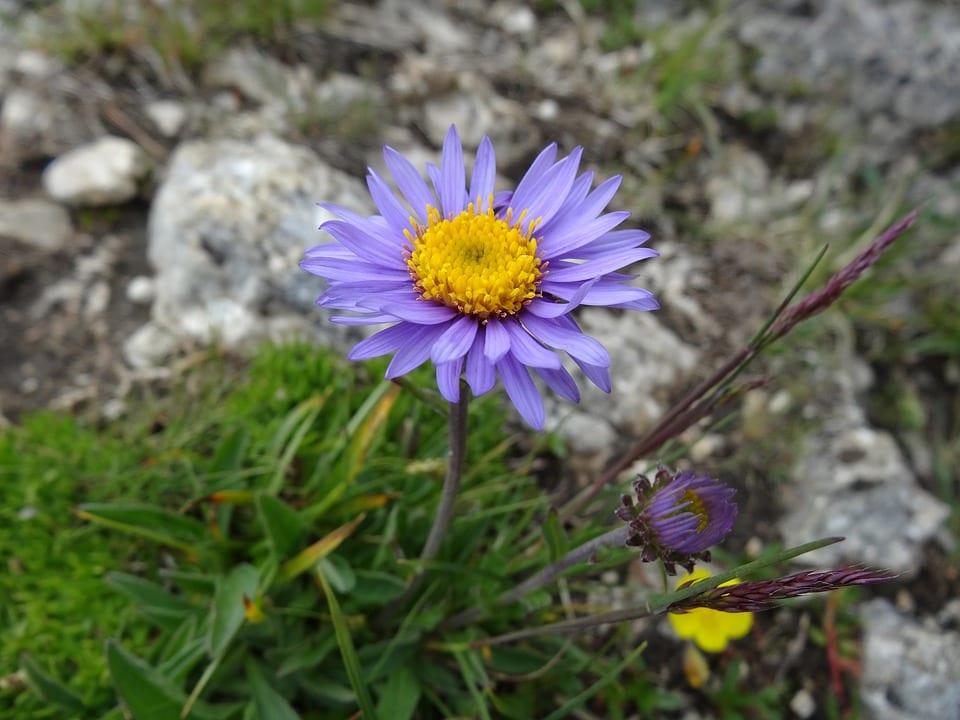 PoradyOgrodnicze.pl - Rośliny kwitnące na fioletowo