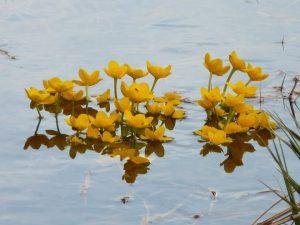 PoradyOgrodniczepl - Rośliny do oczka wodnego - Knieć