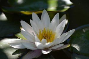 PoradyOgrodniczepl - Rośliny do oczka wodnego - Lilia wodna