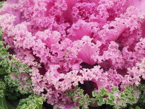 Poradyogrodnicze.pl - rośliny kwitnące we wrześniu - Kapusta ozdobna