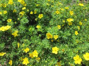 Poradyogrodnicze.pl - rośliny kwitnące we wrześniu - Pięciornik krzewiasty