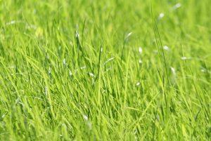 poradyogrodnicze-pl-zakladanie-trawnika-na-jesien-trawnik-z-siewu