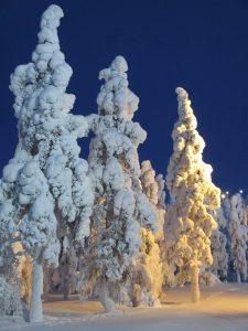 Ochrona iglaków zimą poradyogrodnicze-pl-ochrona-iglakow-na-zime-iglaki-zima