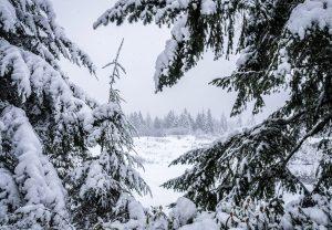 Ochrona iglaków zimą poradyogrodnicze-pl-ochrona-iglakow-na-zime-iglaki2