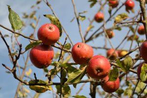 poradyogrodnicze-pl-oprysk-drzew-owocowych-jesienia-owoce