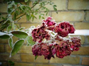 poradyogrodnicze-pl-przygotowanie-roz-na-zime-roze