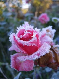 poradyogrodnicze-pl-przygotowanie-roz-na-zime-roze-zima